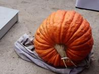 В Украине вырастили рекордную тыкву весом 76 килограммов (фото)